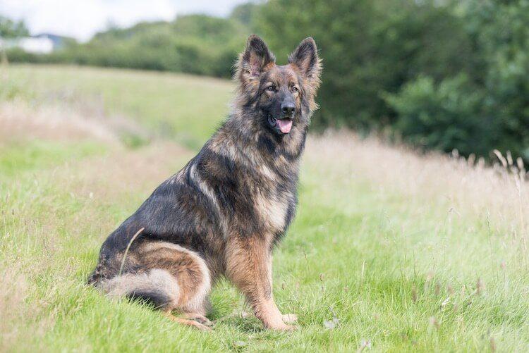 Sable and tan german shepherd dog