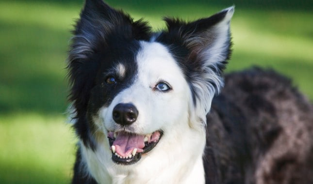 Who Are The Border Collies
