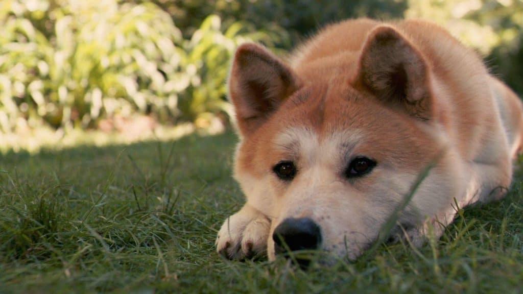 akitas dog