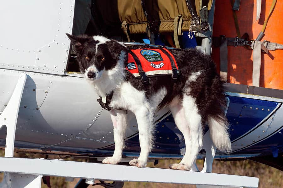 border collie as rescue dogs
