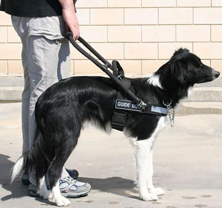 border collie as sniffer dogs
