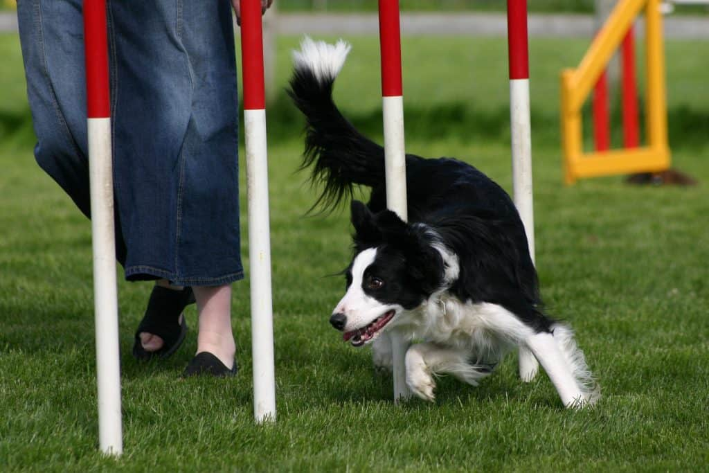 border collie playing sports