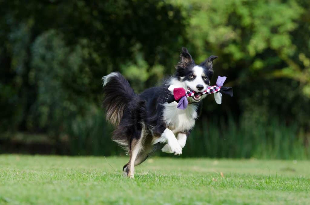 border collie training