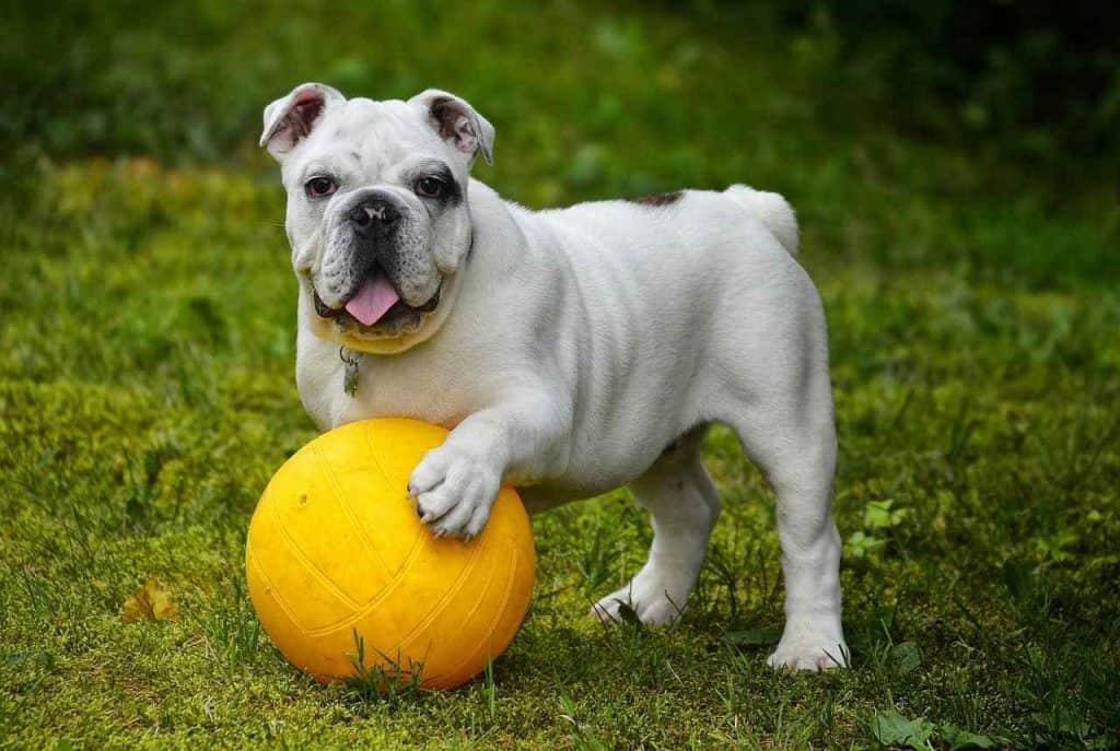 bulldog size