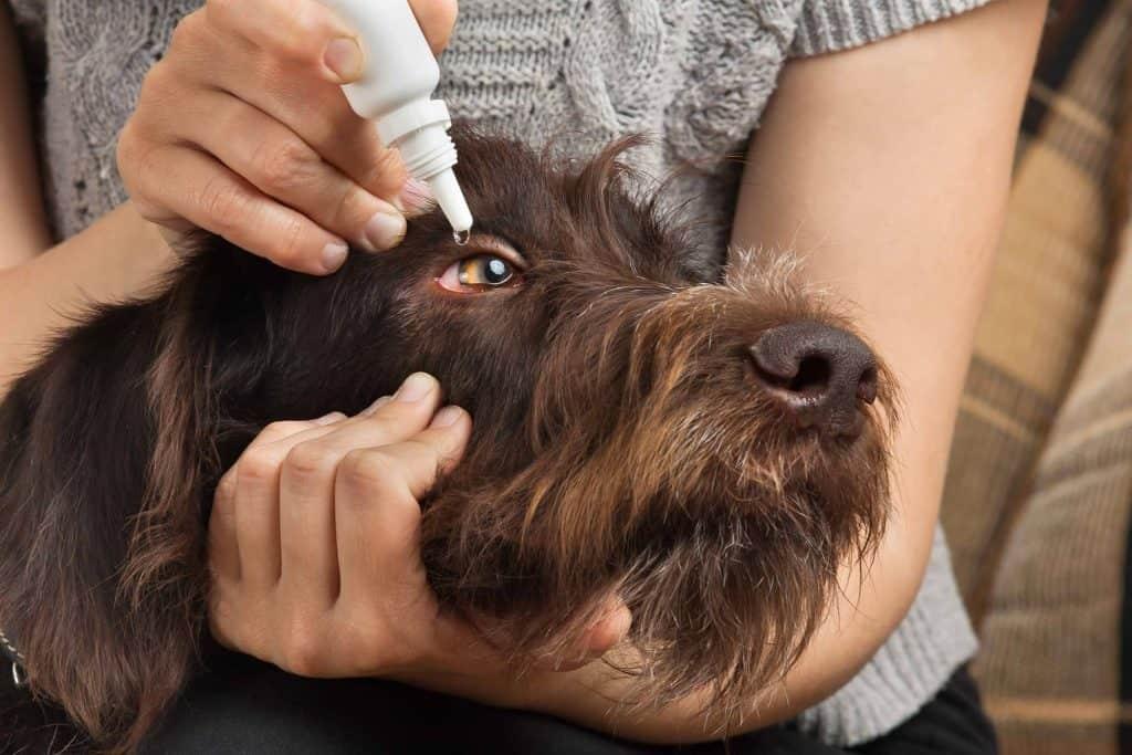 dog eye discharge home remedies