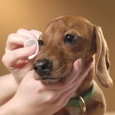 dog eye grooming