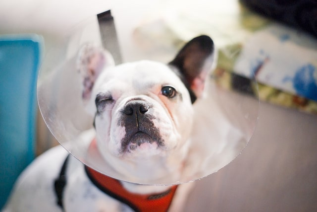 french bulldog diseases