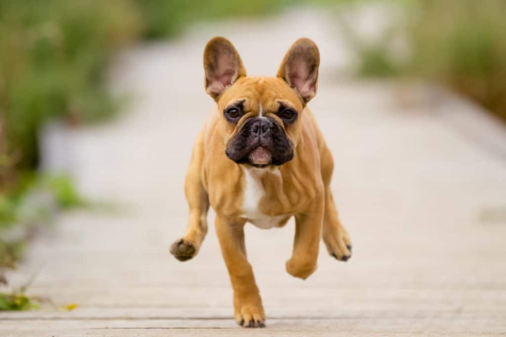 french bulldog training
