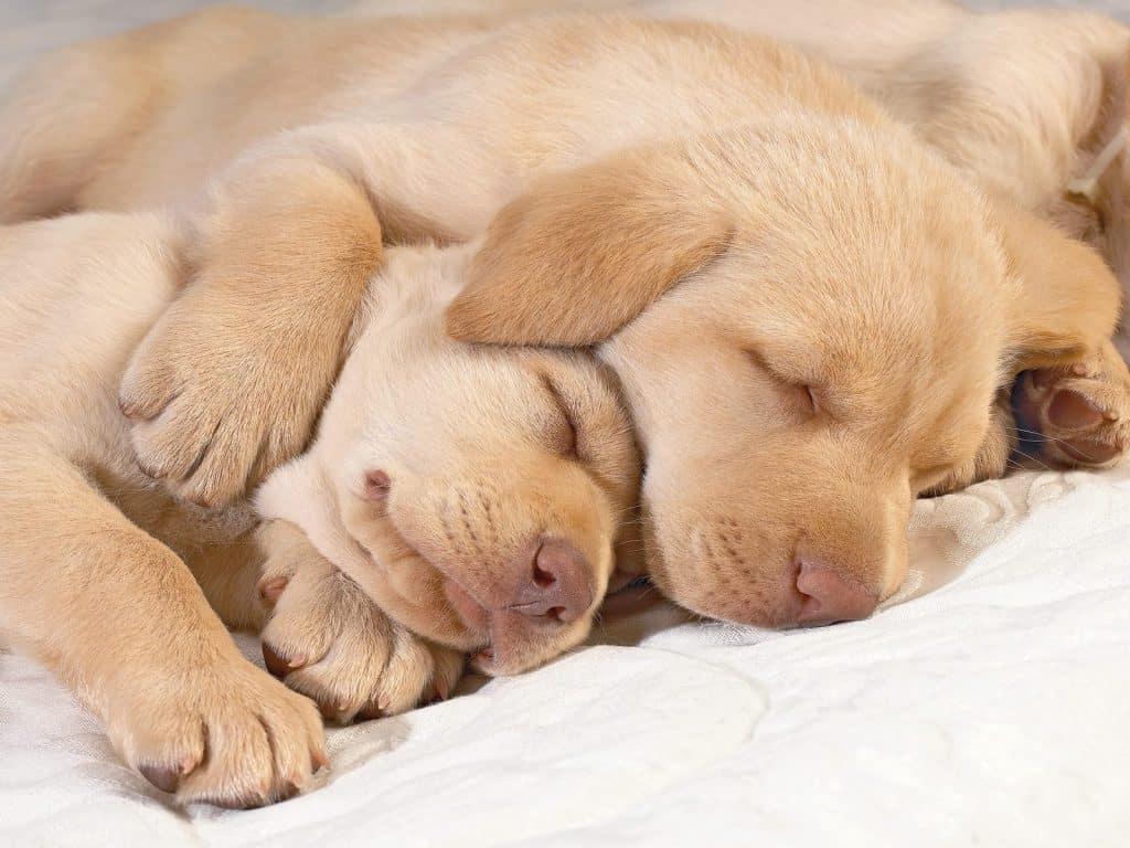 peaceful dog sleep