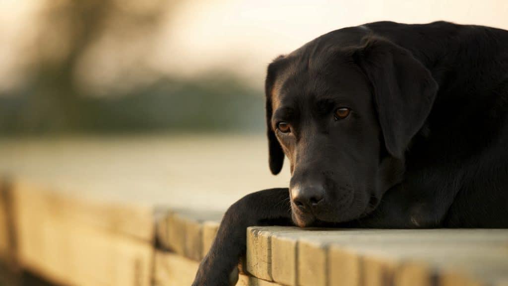 sad dogs