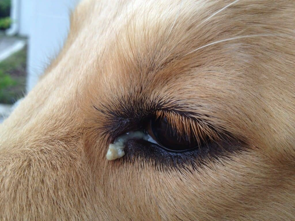 watery dog eye