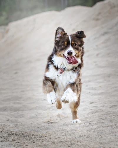 About Border Collie