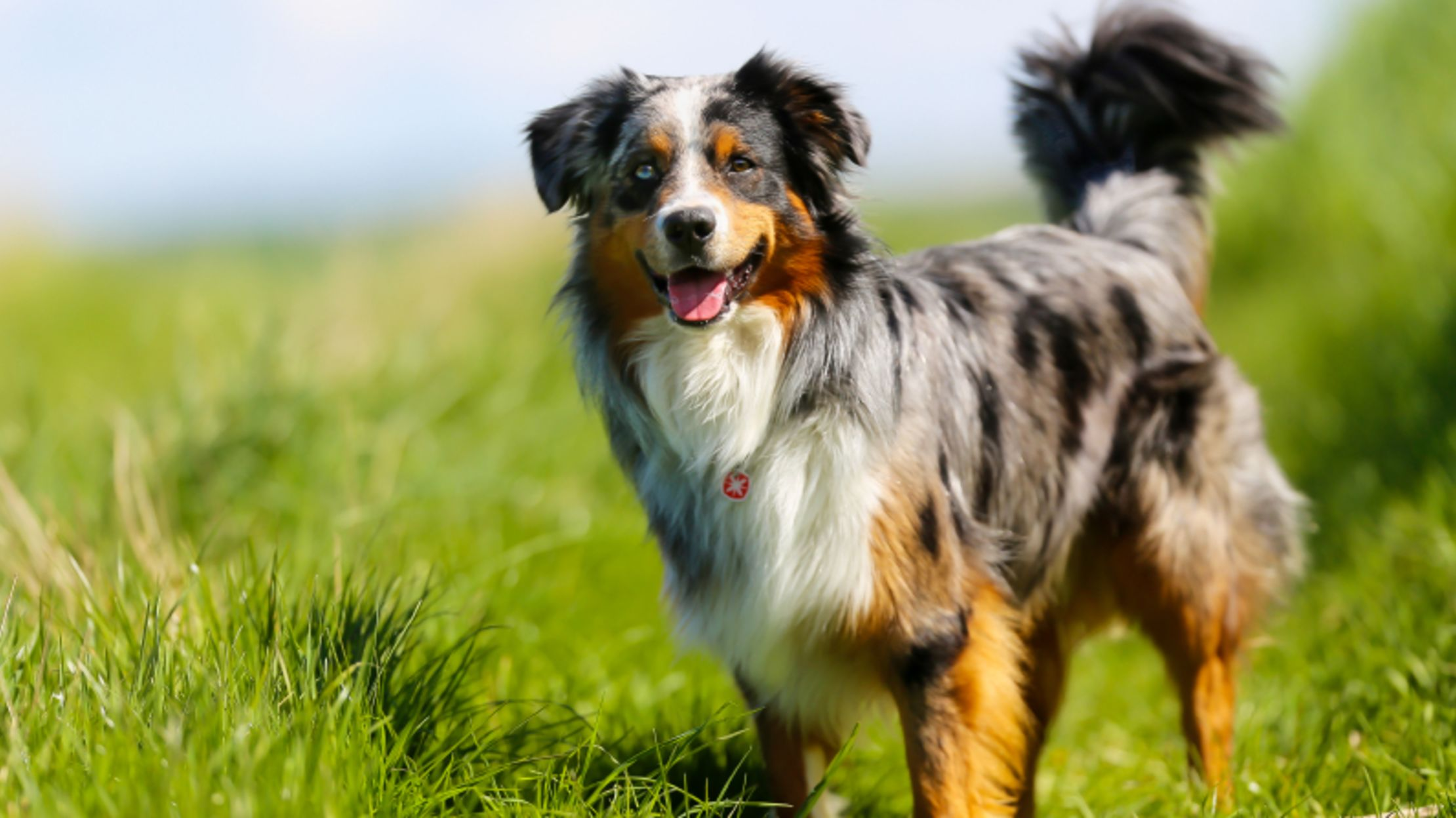 Australian Shepherd Dog Breed Information Complete Guide