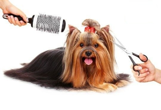 Yorkshire-Terrier-Grooming