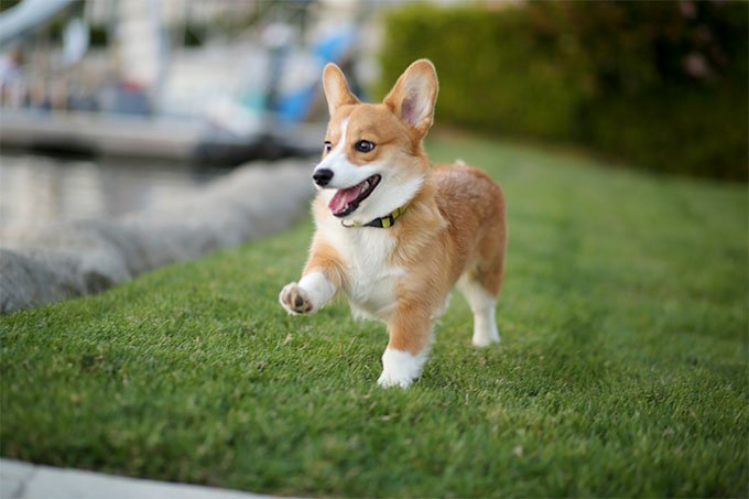corgi trainability