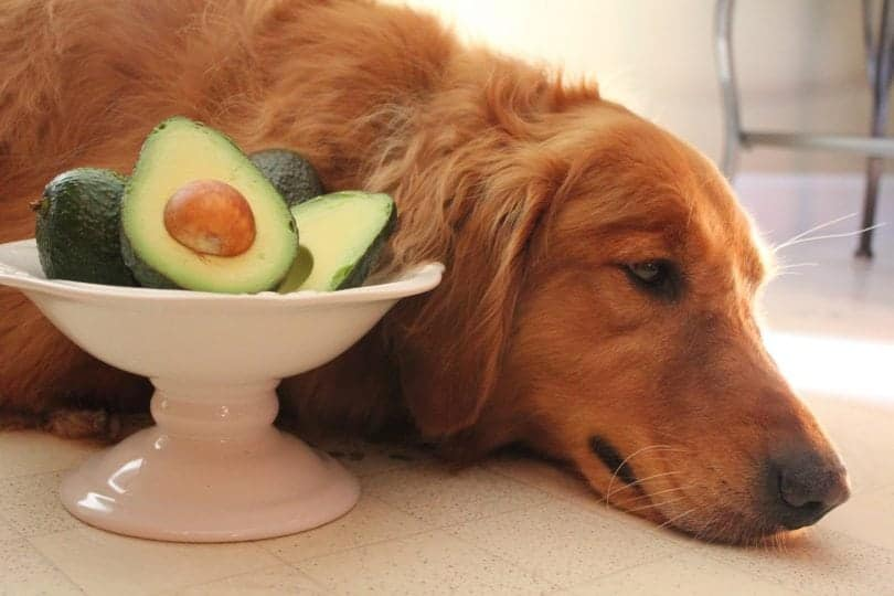 dog eating avocados
