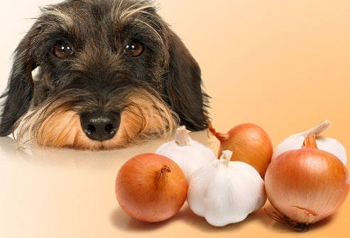 dog eating onion
