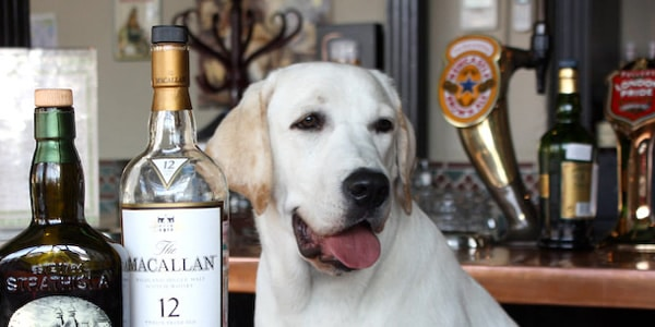 dog with alcohol baverages