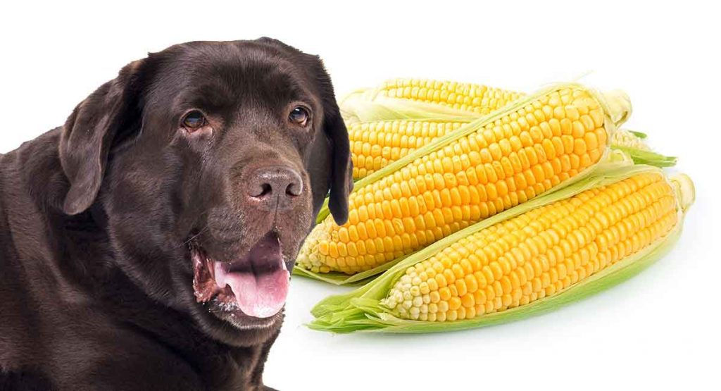 dog with corn on the cob