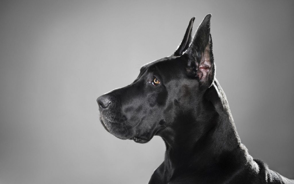 Great Dane Complete Information Guide Dog Is World