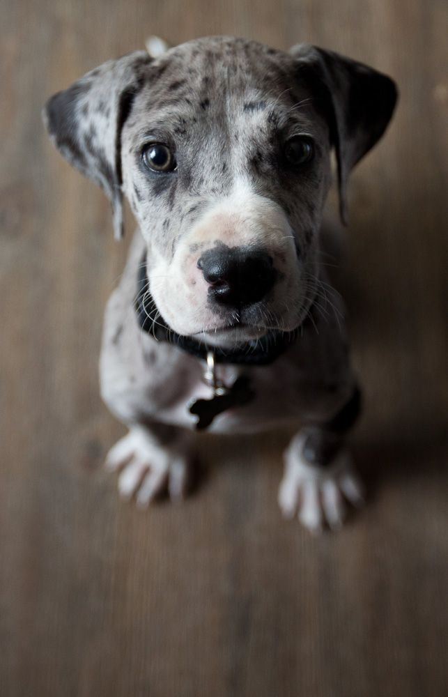 great dane adorable