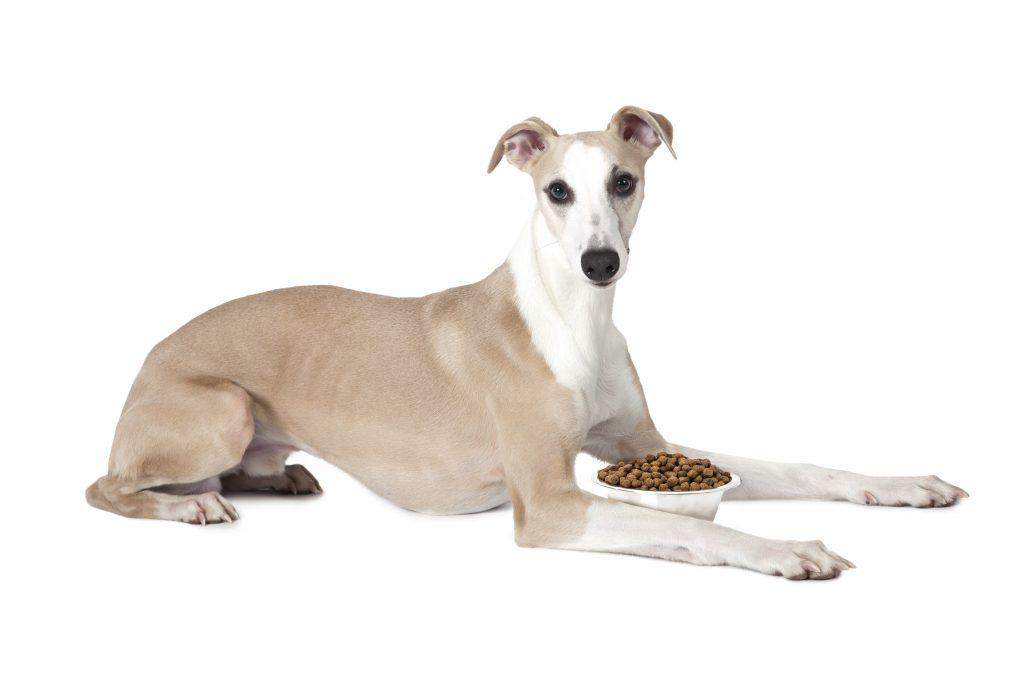 greyhound eating food