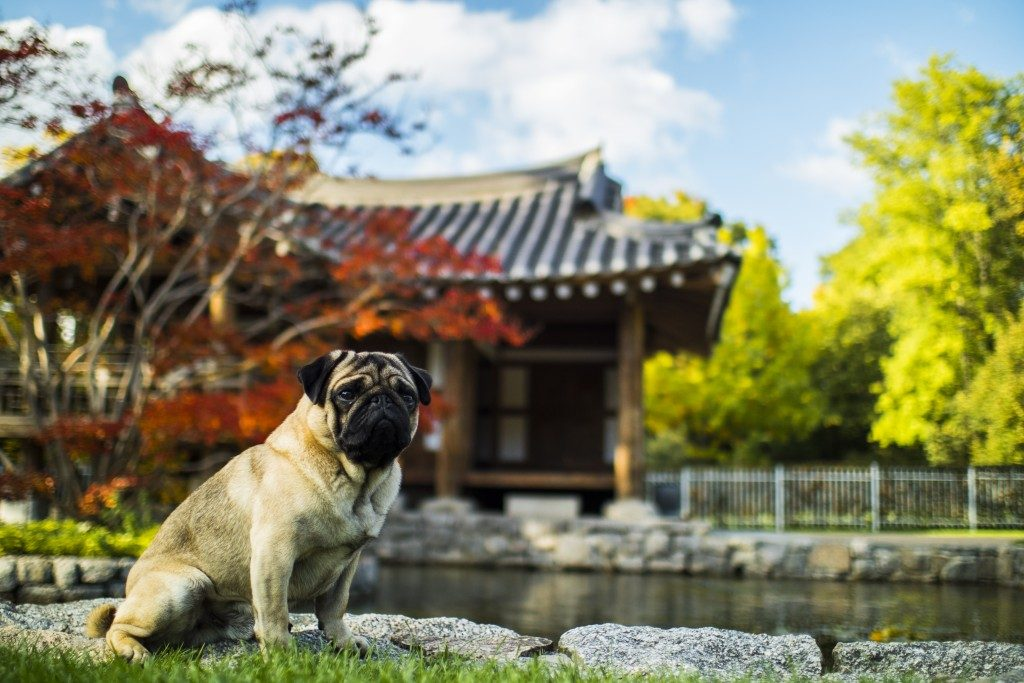 pug from china