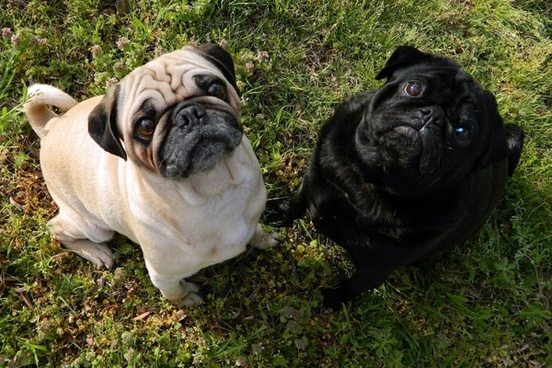 pug with other dogs