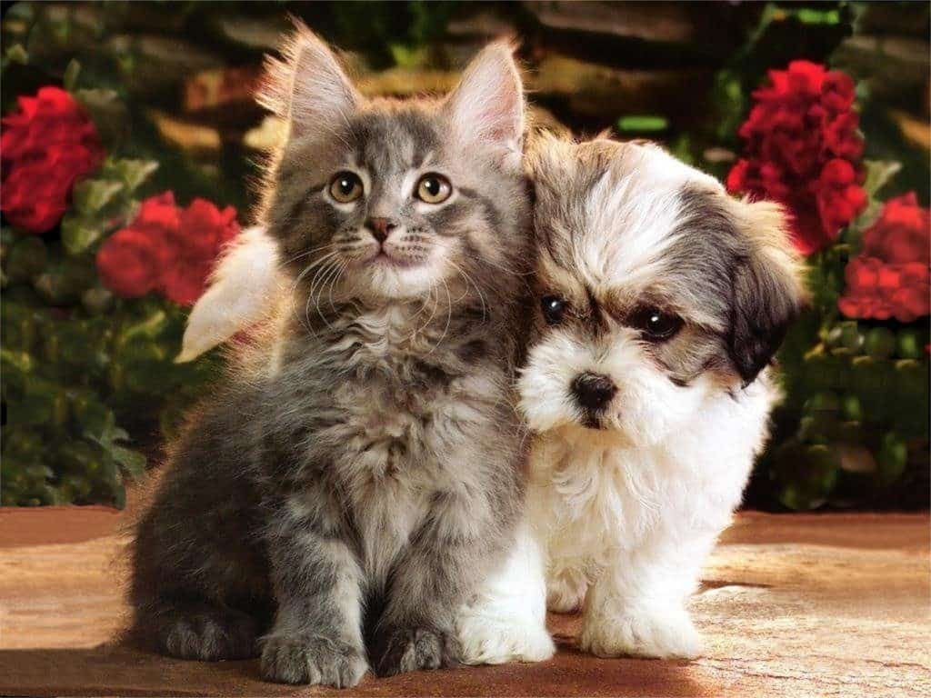 shih tzu with cats