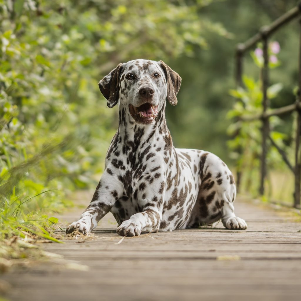 Dalmatian   Dog Breed Information [Complete Guide]   Dog ...