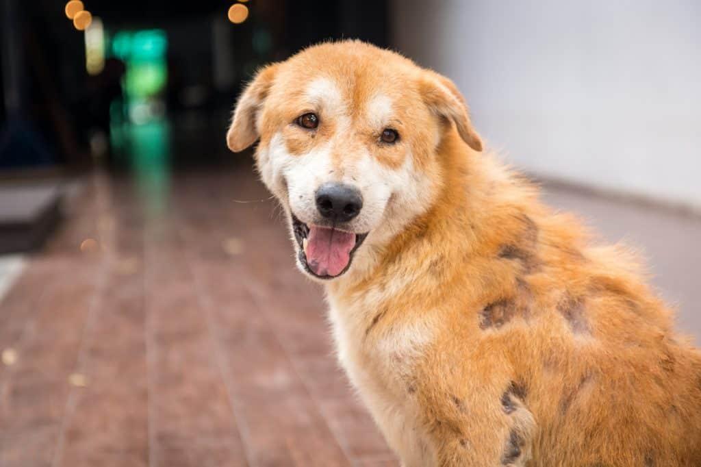 skin diseases in dogs