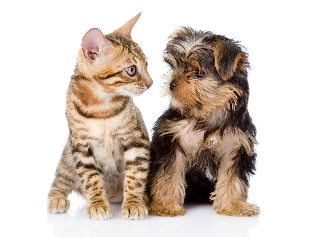 yorkshire terrier with cats