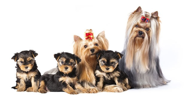 yorkshire terrier with other dogs