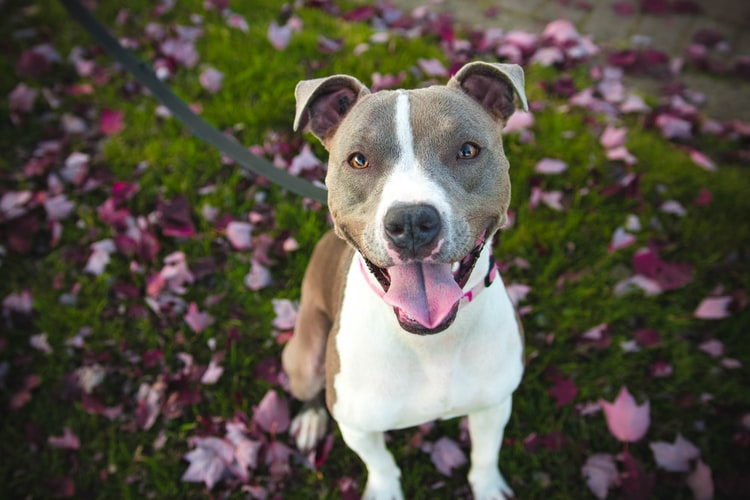 About American Pit Bulls