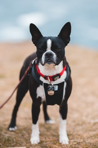 About Boston Terriers