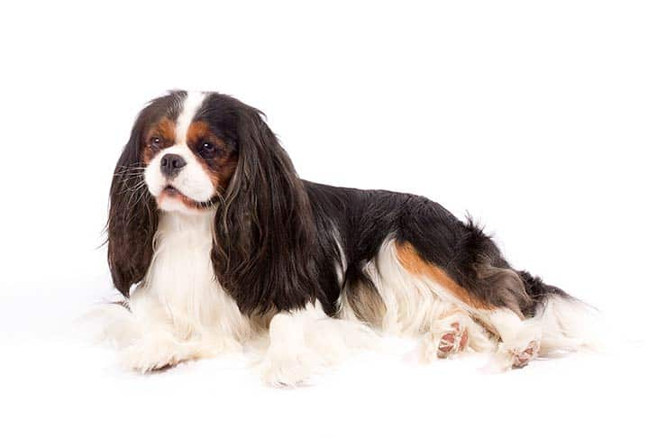 About Cavalier King Charles Spaniel