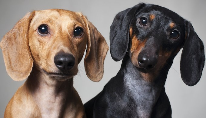 About Dachshunds