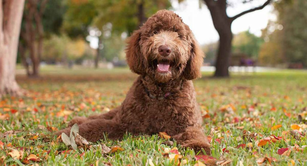 About Labradoodles