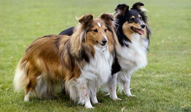 About Shetland Sheepdogs