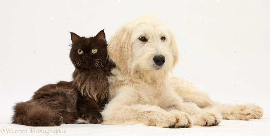 Goldendoodle With Cats