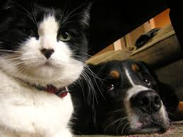 bernese mountain dogs with cats