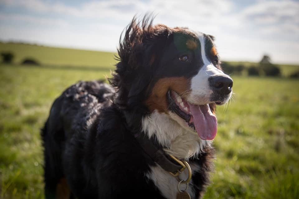 Bernese Mountain Dogs Dog Breed Information Complete Guide