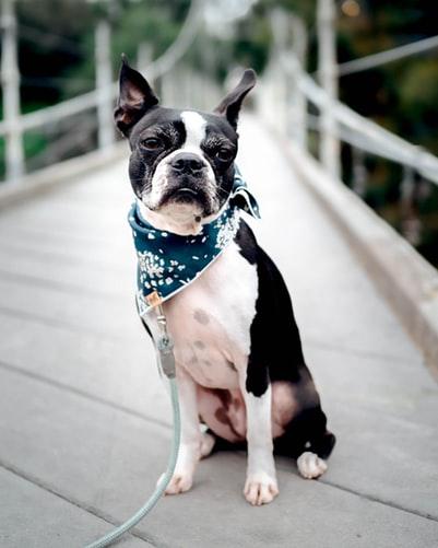 Boston terrier adult