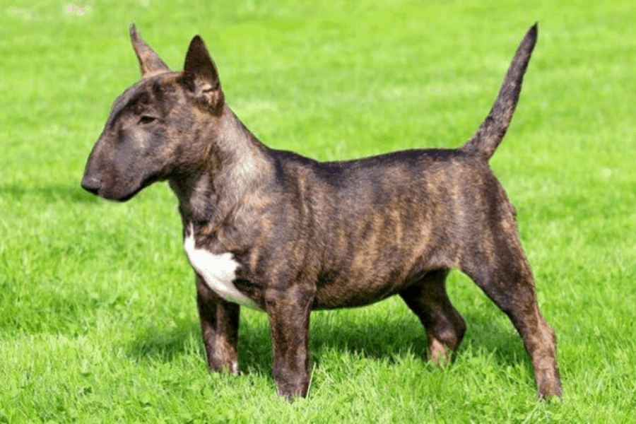 Brindle Bull Terrier