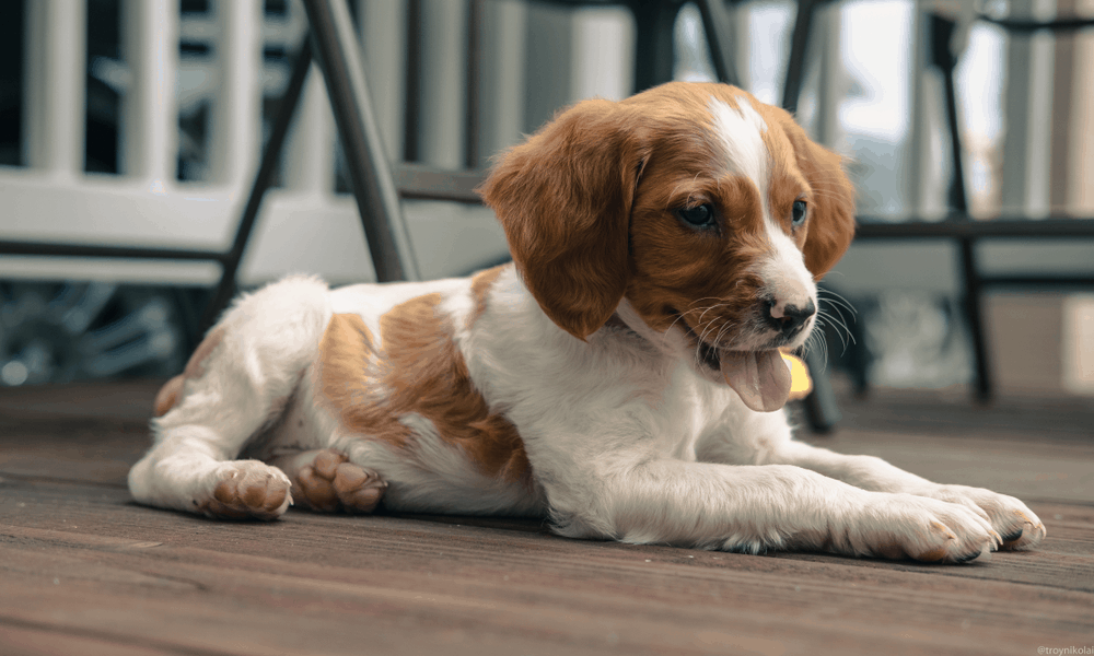 Brittany Spaniel Dog Breed