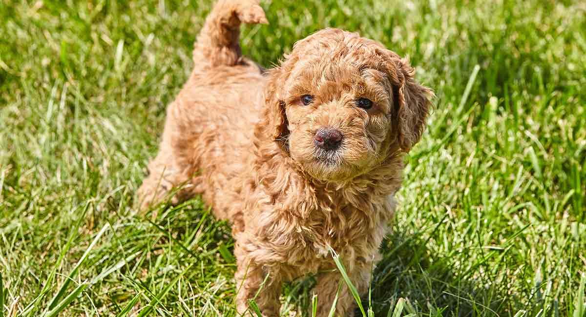 Goldendoodle Dog Breed Information Complete Guide