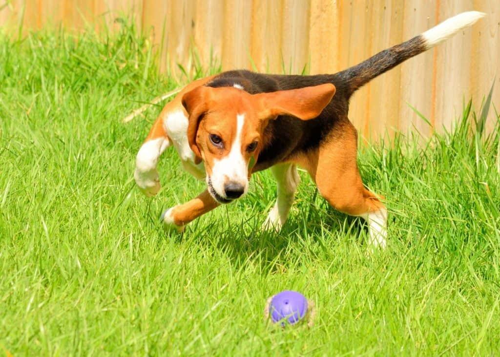 the ball hound