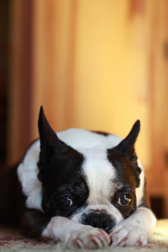 Where Boston Terriers Came From