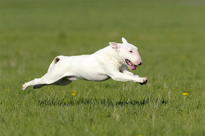 Where Bull Terriers Originate From