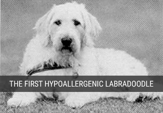 Where Labradoodles Came From